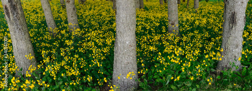Foto Panorama of blanket of yellow flowering wildflowers in a forest in Cape Breton I