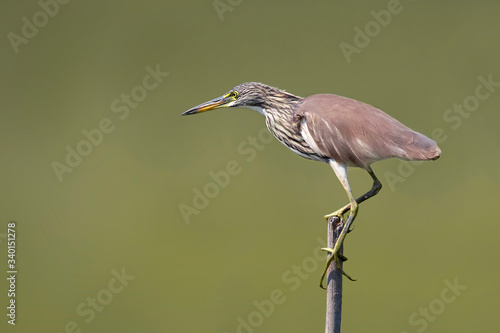 Image of Chinese pond heron(Ardeola bacchus) on tree stump on nature background Canvas Print