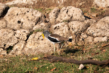 White-Crowned Or White-Headed Wattled Lapwing Or Plover, Vanellus Albiceps, In Chobe National Park, Botswana
