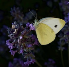 Close-up Of Cabbage Butterfly On Lavender Flowers