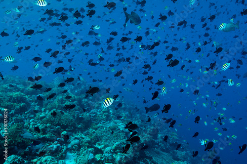 Reef scenic with massive spawning aggregation of Black triggerfish, Melichthys n Canvas Print