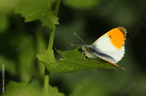 A stunning male Orange-tip Butterfly, Anthocharis cardamines, perching on a Garlic Mustard leaf in spring.