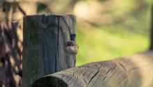 Fairy Wren Hopping On Log