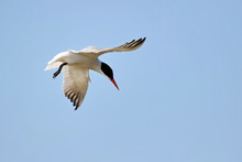 Low Angle View Of Tern Flying Against Clear Sky