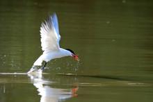 Caspian Tern Hunting Fish Over Lake