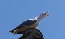 Seagull Screaming Against Sky
