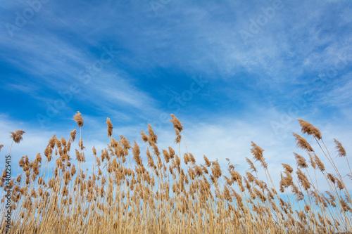 Foto Dry reed and bright blue sky