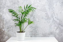 Exotic Green Palm Chamaedorea In White Pot On Table Against Gray Concrete Wall. Houseplant, Flowers In The Interior, Minimalism