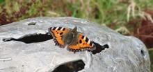 Butterfly On A Rock. -Laputa Photography-