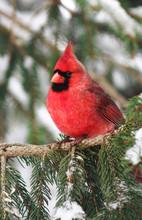 Close-up Of Northern Cardinal ...