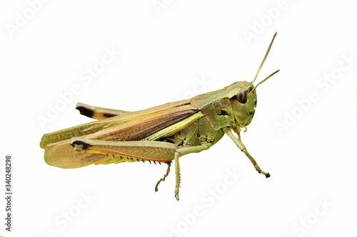 Fotografie, Tablou Close-up Of Grasshopper On White Background