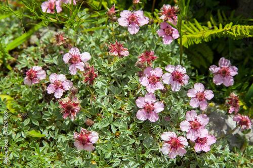 Fotografie, Obraz flowering potentilla nitida