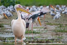 Pelicanos, Aves Exoticas Afric...