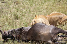Lioness Eating Dead Animal On Field