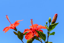 Two Large And Delicate Vivid R...