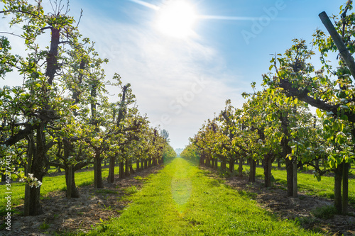 Fotografia Rows with plum or pear trees with white blossom in springtime in farm orchards,