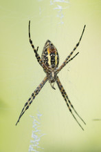 Close-up Of Argiope Trifasciata On Spider Web