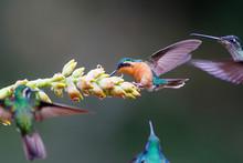 Hummingbird, White-throated Mo...