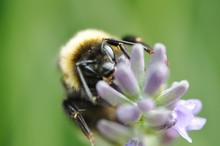 Bumble Bee Pollinating On Purple Flower
