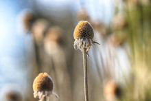Dry Flowers In The Meadow Duri...