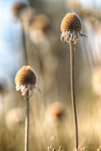 Dry Flowers In The Meadow During Early Spring. Rudbeckia Is A Plant Genus In The Sunflower Family. Cultivated In Gardens For Their Showy Yellow Or Gold Flower Heads.