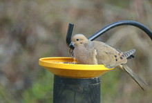 American Mourning Dove Eating ...