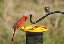 A Red Cardinal And A Brown Hou...