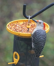 A Red-bellied Woodpecker Eatin...
