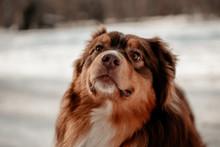 Portrait Photo Of A Dog Of Breed Lassie Australian Shepherd. Dog Is A Mans Friend, A True Friend. Sunny Winter Day.