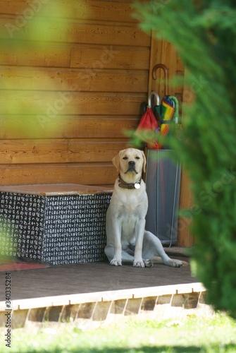 Fotografia, Obraz Jeune labrador beige
