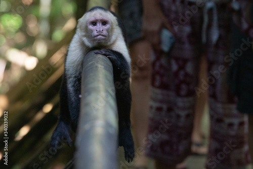 Fotografija White-headed capuchin in Manuel Antonio National Park, Costa Rica