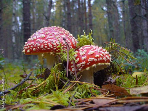 Photo fly agaric mushroom