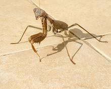Praying Mantis On Brown Floor Closeup