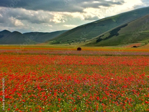 Fototapeta Close-up Of Red Flowers In Field obraz na płótnie