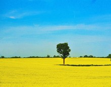 Tree On Oilseed Rape Field Aga...