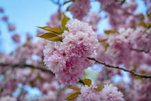 Cherry Blossoms On A Tree Clos...