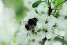 Branch Blossoming Cherry Tree With White Flowers And Bumblebee