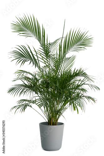 Leinwand Poster Kentia Palm Tree grey in pots