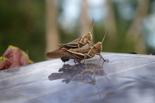 Close-up Of Grasshoppers Mating On Glass Table