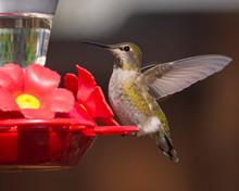 Hummingbird  Ready For Flight