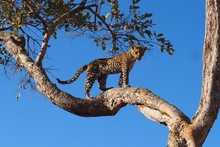 Low Angle View Of An Alert Jaguar Looking Down From A Tree