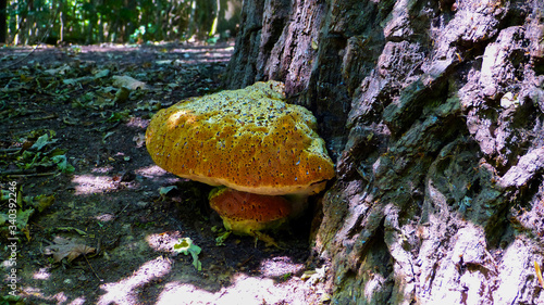 Fotografie, Tablou oak bracket, weeping conk, weeping polypore, warted oak polypore, Pseudoinonotus