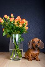 A Small Beautiful Young Dog Of Dachshund Breed Sits On A Wooden Textured Table And Next To It Is A Glass Transparent Vase In Which There Is A Bouquet Of Roses With Small Buds. Studio, Black Background
