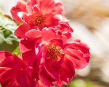 Closeup Shot Of Beautiful Red Flowers Capture In Saint Marks Square, Venice, Italy