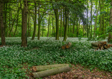 Woodland With Carpet Of Wild G...