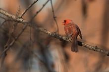 Male Northern Cardinal (Cardinalis Cardinalis) Singing In Spring