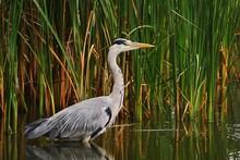 Gray Heron Perching In Lake By Plants