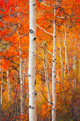 Panel Szklany Podświetlane Brzoza Vertical aspen glade in fall splendor, Utah, USA.