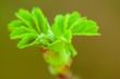 liść dzikiej róży