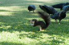 Squirrel By Pigeons On Grassy Field